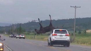 Una camioneta embistió a un alce a alta velocidad y lo hizo volar por los aires.