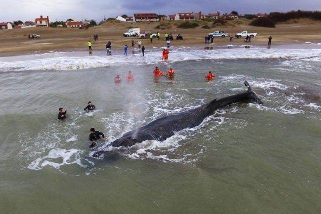 Una ballena encalló frente a la costa de Mar del Tuyú.