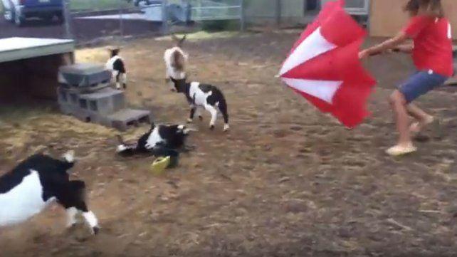 Se paralizan: la insólita reacción de las cabras al ver un paraguas