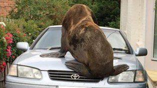 El animal se subió a los vehículos que estaban estacionados.