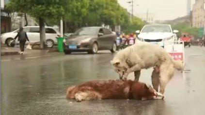 El impactante video de un perro que intenta ayudar a un compañero que fue atropellado