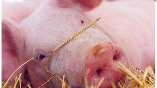 Gran parte de los criadores de cerdos del país, considera que el único plan para permanecer en la actividad pasa por no frenar el crecimiento. Se espera un 193 % más para el año 2020.