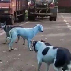 Conmoción por la aparición de perros callejeros con la piel de color azul