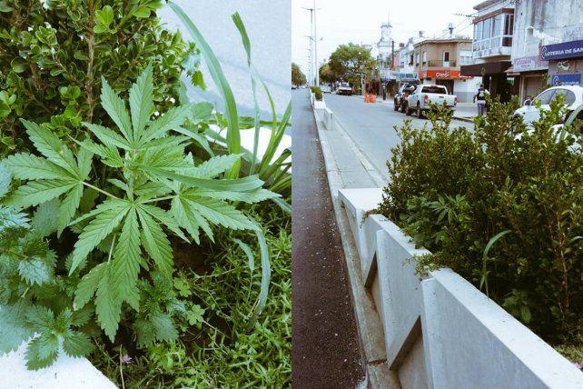 Secuestradas. Las plantas de marihuana fueron retiradas del cantero central de avenida San Martín.