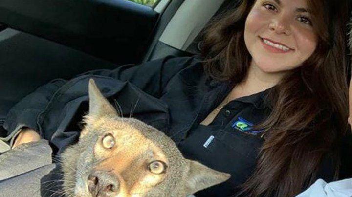 Creyó que rescataba un perro herido y se dio cuenta que era un coyote salvaje