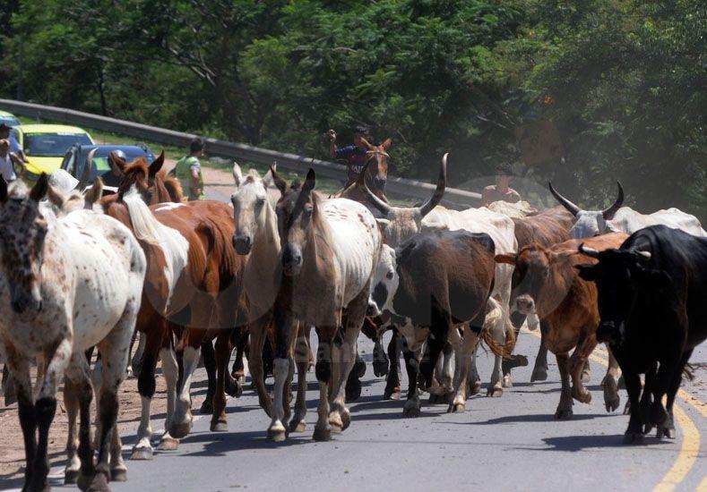 Otro de los movimientos habituales en las épocas de crecida es el del ganado que es sacado de la zona de islas.