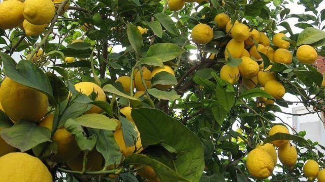 La insólita forma de un limón que sorprendió a Santa Elena