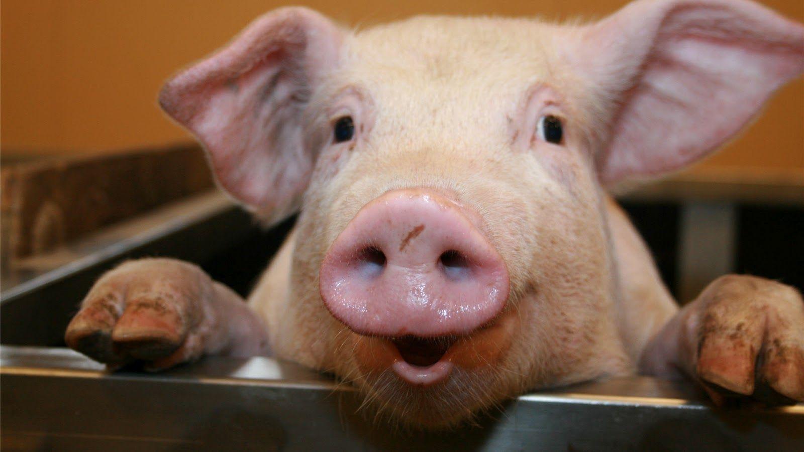 Científicos buscan 'cultivar' órganos humanos en cerdos