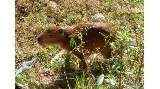 Incautaron un carpincho que mordió a un niño de tres años en Entre Ríos