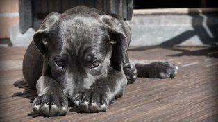 Sugieren que la domesticación de los perros no surgió en un solo continente