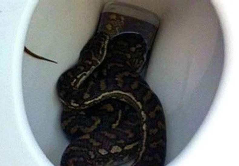 Arañas, ratas y serpientes: los animales que te pueden asustar saliendo del inodoro