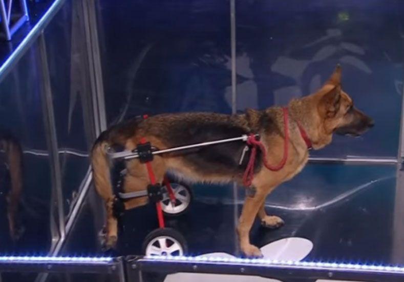La perrita discapacitada que salió campeona del Especial perros