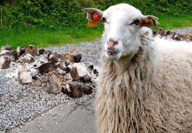 Temor en una localidad galesa por una horda de ovejas drogadas