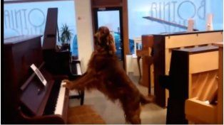 Elmo, el perro que canta y toca el piano