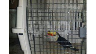 El tucán rescatado en marzo está cerca de su liberación