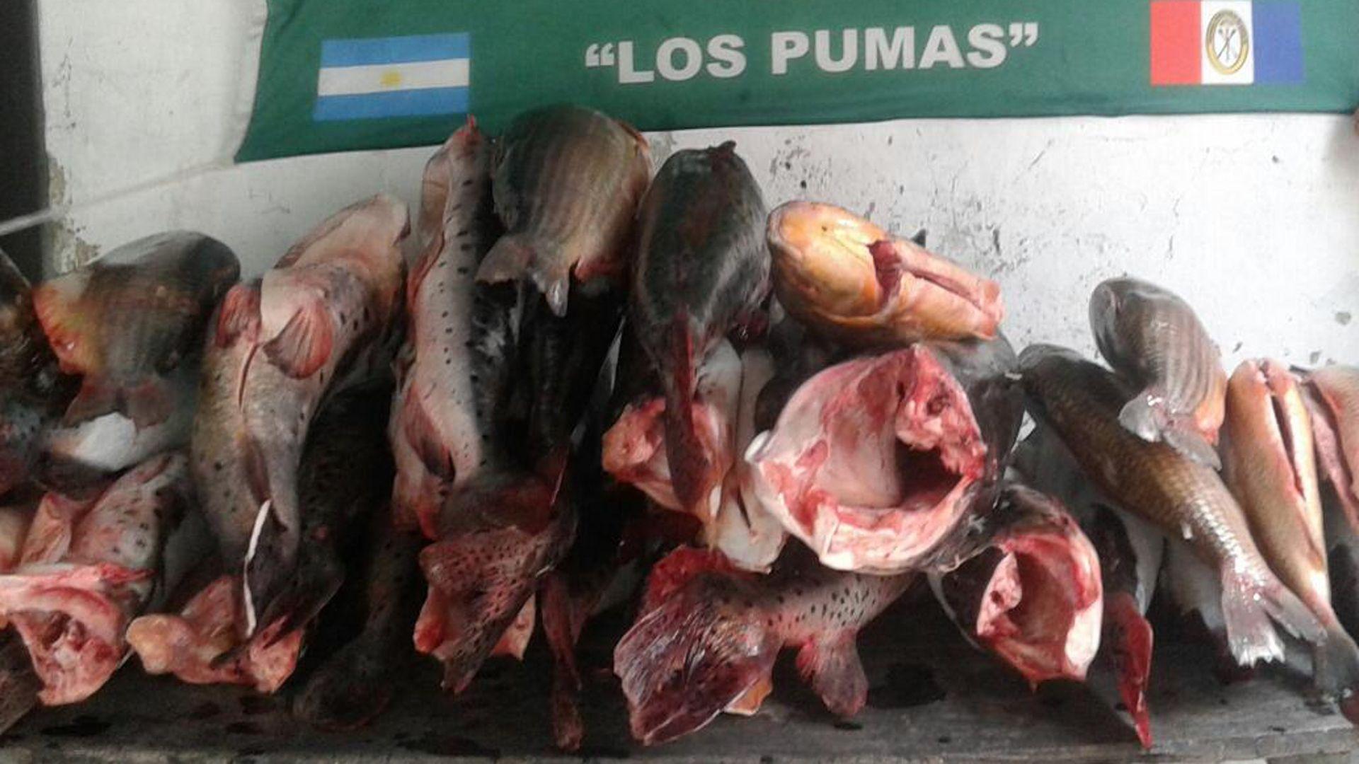 Secuestraron 226 piezas de pescado no apto para el consumo