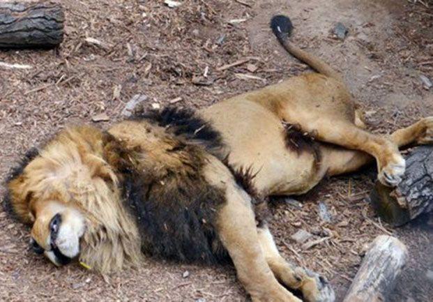 Polémica: sacrificaron a dos leones para salvar a un suicida