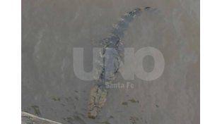 Encontraron un yacaré en el Puerto de Santa Fe