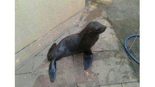 Pequeño. El animal mide un metro de largo y fue rescatado. Foto Gentileza/Prefectura de Colón