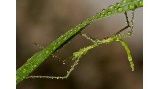 El insecto más largo del mundo es un mata caballo