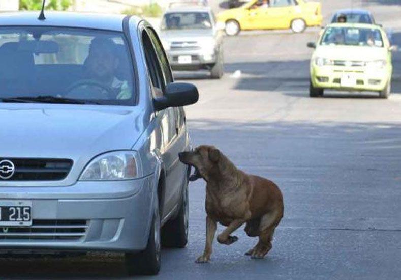 Por qué los perros ladran y corren más a los autos que a los gatos