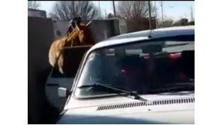 El increíble video de un cordobés que cargó a un caballo en el asiento trasero de su Renault 12
