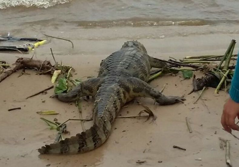 Un extraño visitante en la zona de playas de Rosario