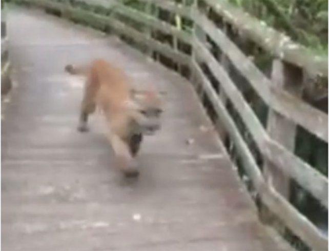 Video: fue al zoológico y se cruzó con un puma suelto
