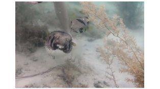 Un pez se negó a dejar a su amigo cuando quedó atrapado en una red