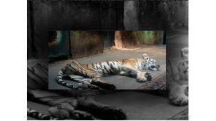 Los tigres son mantenidos en pésimas condiciones hasta que mueren de hambre (Foto: @rubithecat)