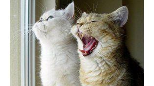 Los gatos han aprendido a comunicarse con los humanos a través de señales visuales y vocales.