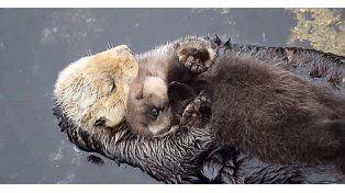 Conmovedoras imágenes de una nutria haciéndole mimos a su cría recién nacida