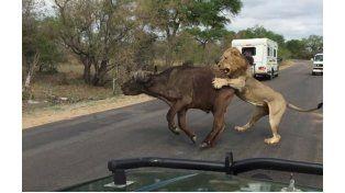 Video: leones matan a un búfalo frente a un grupo de turistas