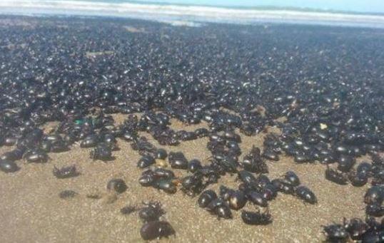 Una marea de escarabajos invadió la orilla de la playa de Mar de Ajó