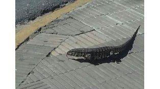 Iguana céntrica. 22 de febrero: 16:05 en Tucumán y 4 de enero