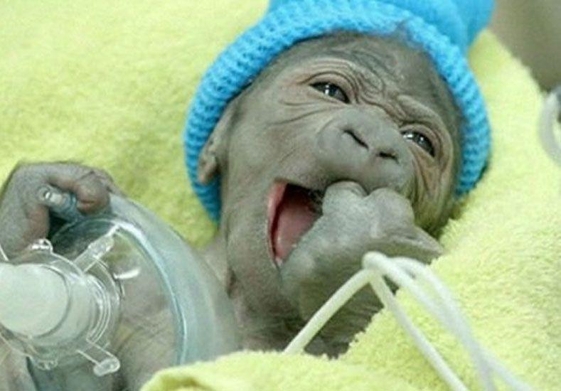 VIDEO: Mirá el tierno nacimiento de un gorila por cesárea