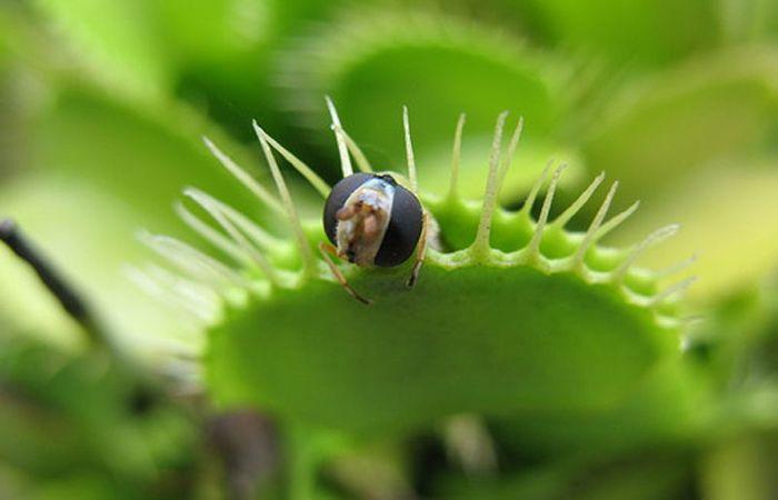 La planta cuenta con la ayuda de pelos sensores en la superficie de las hojas de captura.