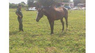 Hubo cuatro detenidos por robo de ganado y faenamiento clandestino en el norte santafesino