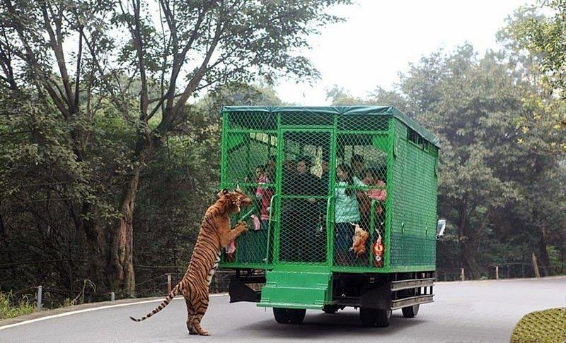 El zoológico es un éxito porque los animales se enfrentan cara a cara con los visitantes.