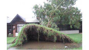 Un árbol fue arrancado de cuajo y el piso levanatdo como una alfombra en Newebery y Los Olmos