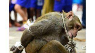 Insólito: el mono ladrón que fue arrestado y expuesto a una humillación pública