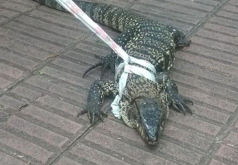 Un lagarto gigante entró a un geriátrico y se metió abajo de una cama
