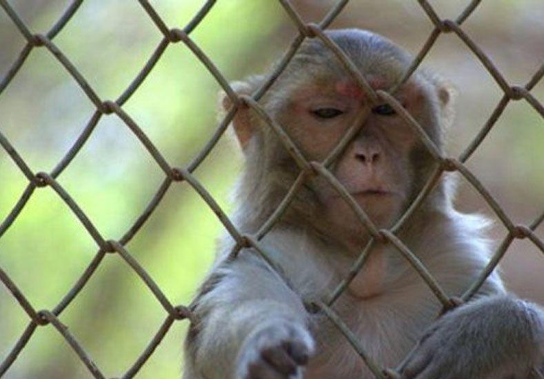 Un mono fue capturado y encarcelado por ladrón en la India