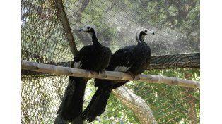 La pareja reproductiva llegó del Zoológico de La Plata en agosto del 2015.