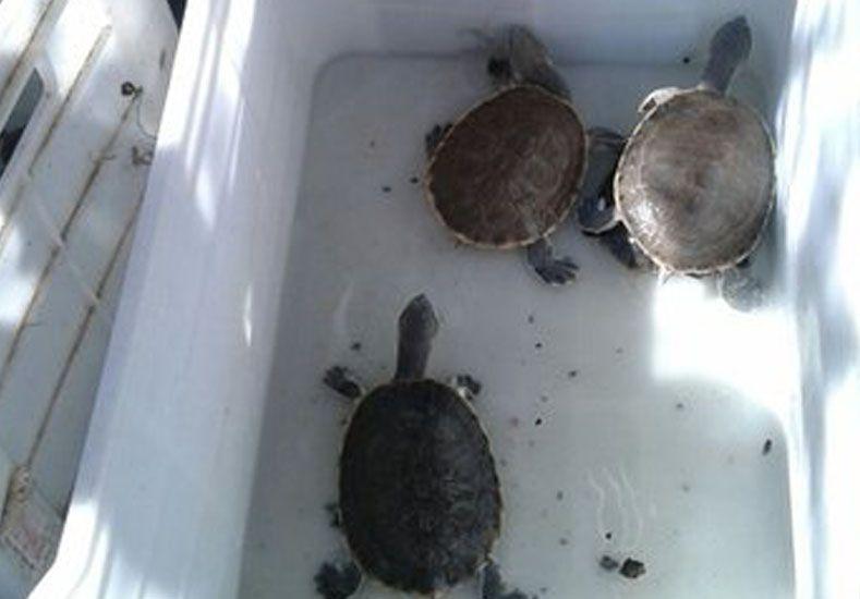 Por el Día de los Humedales liberaron tortugas acuáticas