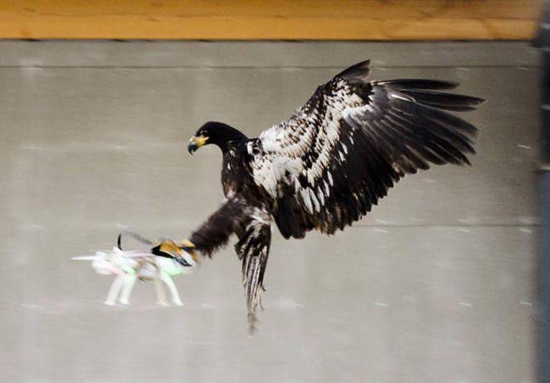 La policía entrena águilas para que cacen a los drones en áreas donde pueden resultar peligrosos