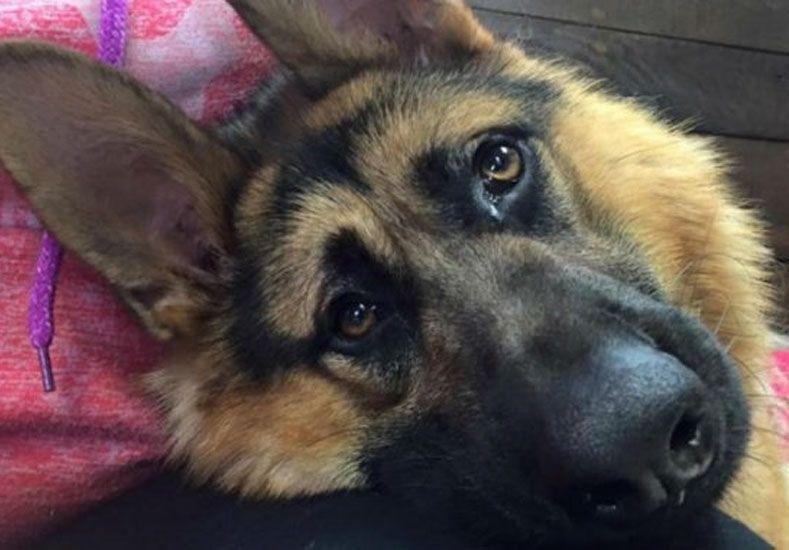 La conmovedora historia de Quasimodo, el perro que busca que lo adopten