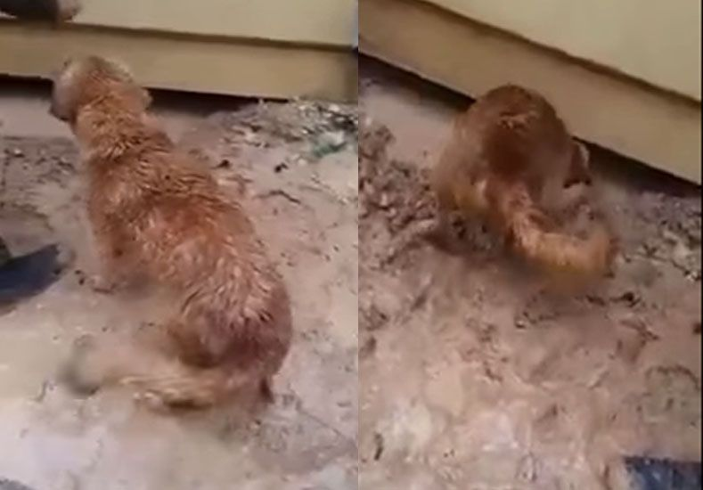 Una perra salva a su cachorro atrapado debajo de una casa