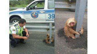 La Policía rescató a un perezoso que había quedado atrapado al cruzar la ruta