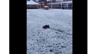 La tierna reacción de un bulldog francés al conocer la nieve